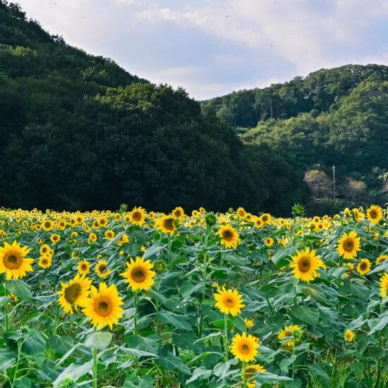 笠懸町吹上地区ひまわり花畑