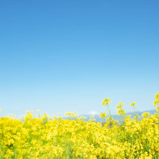 鹿田山 菜の花